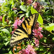Summer Butterfly-Janet Remus.JPG