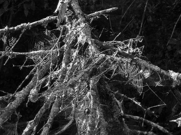 Spider Webs-George Safranek.jpg