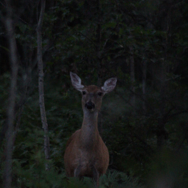 Doe at Dusk-Audrey Blough.jpeg