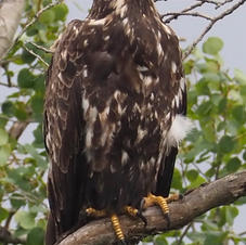 Young Eagle by Scot Jacot.jpg