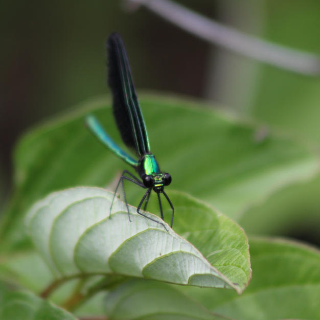 Damsel Fly-Audrey Blough.jpeg