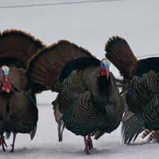 Turkey Trio-George Safranek.jpg