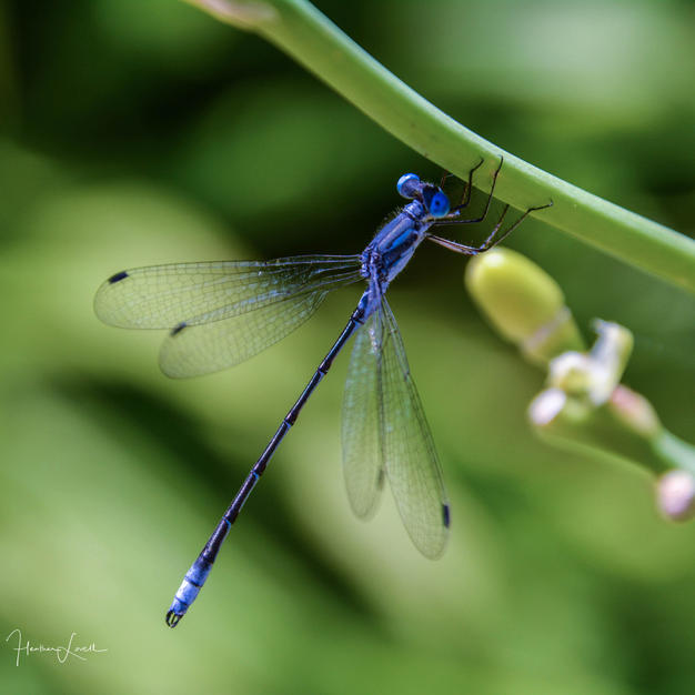 Damselfly - Heather Lovell.jpg