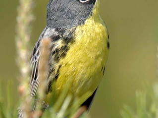 Supporting the Kirtland's Warbler Alliance