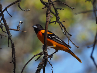 Birds of Northern Michigan