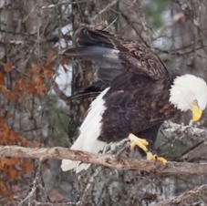 Bald Eagle by Scot Jacot.JPG