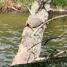 Snapping Turtle - Mike Inman.jpg