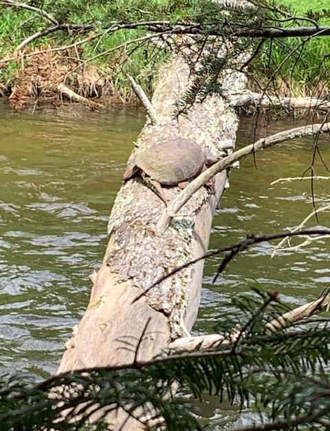 Snapping Turtle - Mike Inman.jpg