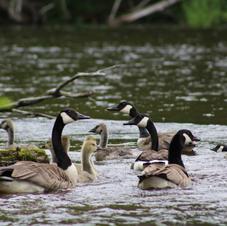 Goose Families-Audrey Blough.jpeg