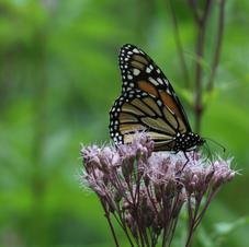 Monarch-Audrey Blough.jpeg