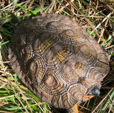 Wood Turtle by Mike Inman.jpg