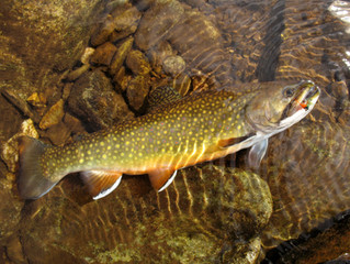 Update on North Branch Trout Population