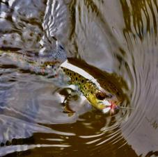 Brown Trout  & fly-George Safranek.jpg