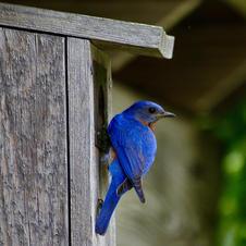 Bluebird at home-George Safranek.jpg