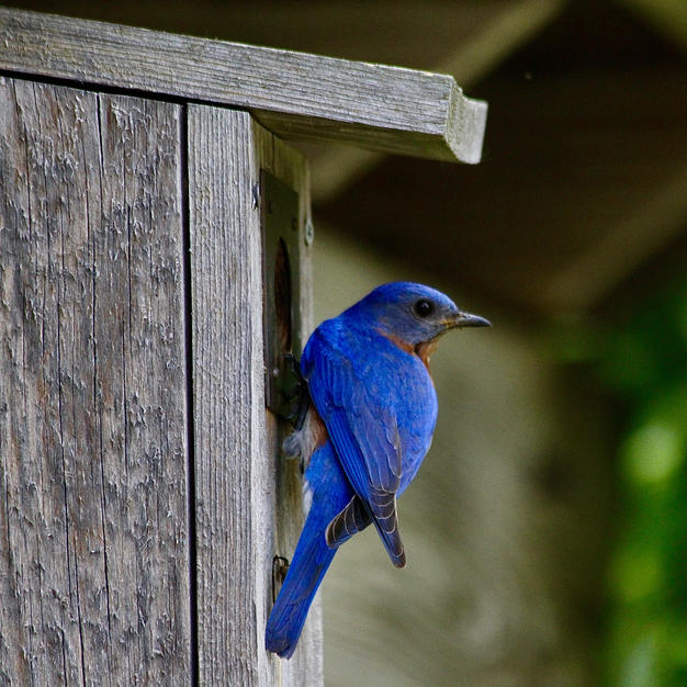 Bluebird at home-George Safranek.jpg