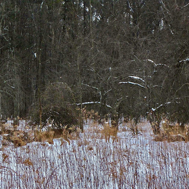 Hidden Deer-George Safranek.jpg