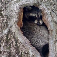 Raccoon by Scot Jacot.jpg