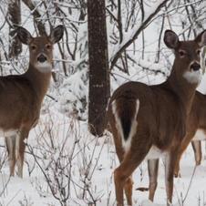Winter Deer by Scot Jacot.JPG