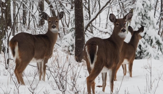 Winter Deer by Scot Jacot.JPG