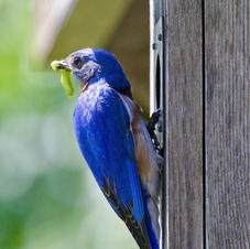 Bluebird Dinner-George Safranek.jpg
