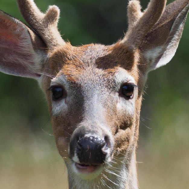 Young Buck by Scot Jacot.jpg