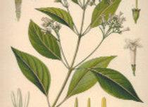 Cinchona plant image