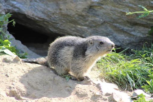 Marmotton (1).jpg