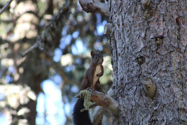 Ecureuil roux (2).jpg