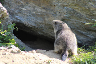 Marmotton (2).jpg