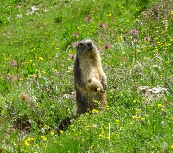 Marmotte (2).jpg