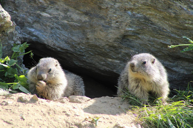 Marmotton (3).jpg