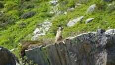 Marmotte (1).jpg