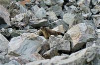 Marmotte (3).jpg