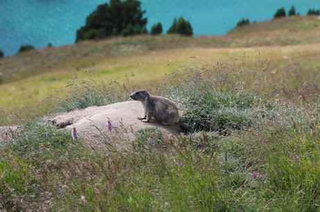 Marmotton (6).jpg