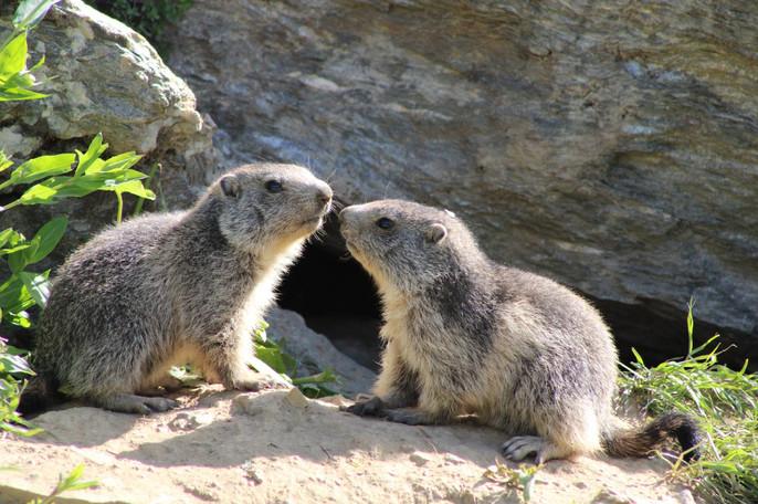 Marmotton (5).jpg