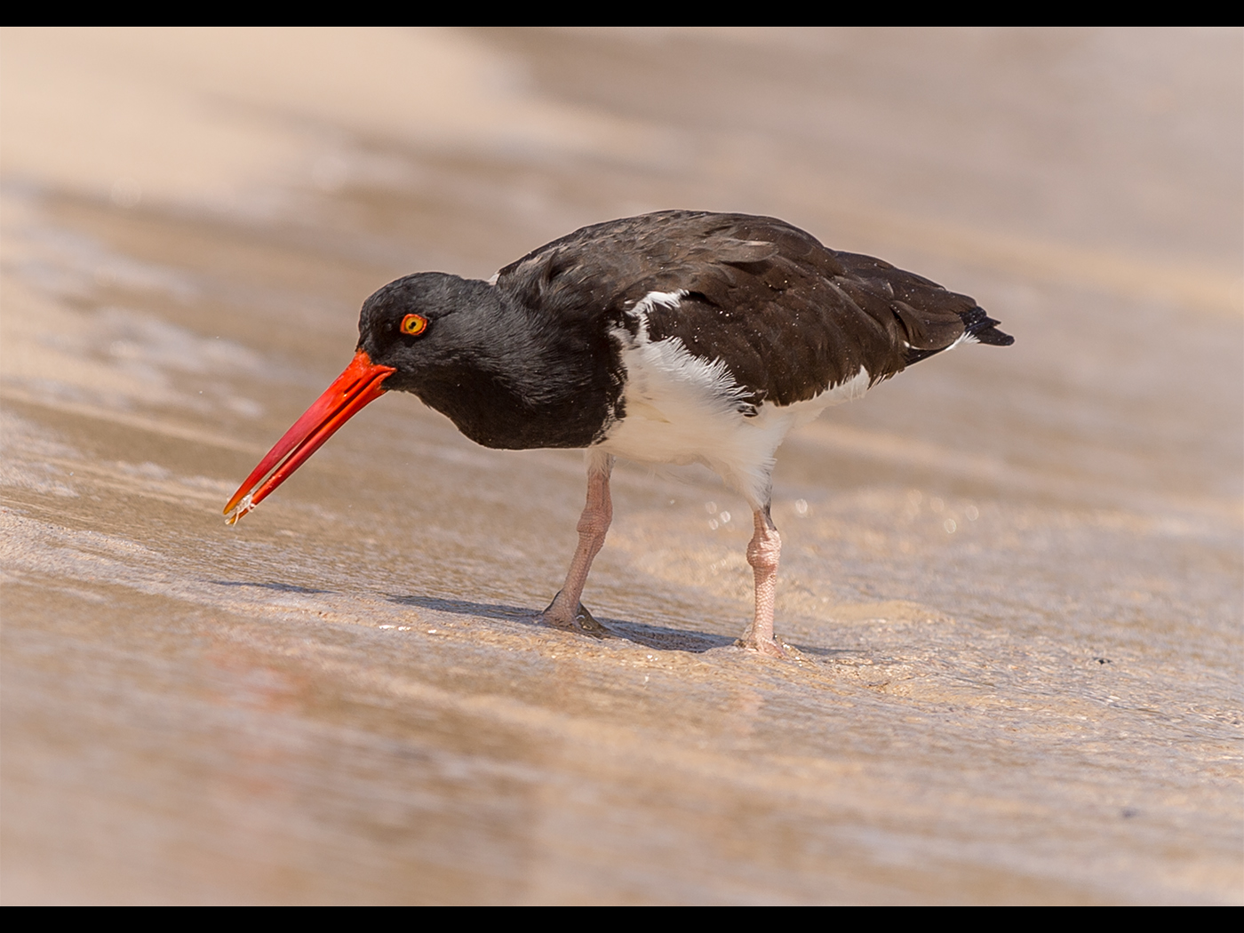 Oystercatcher With Crab