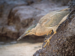 Lava Heron with Catch copy