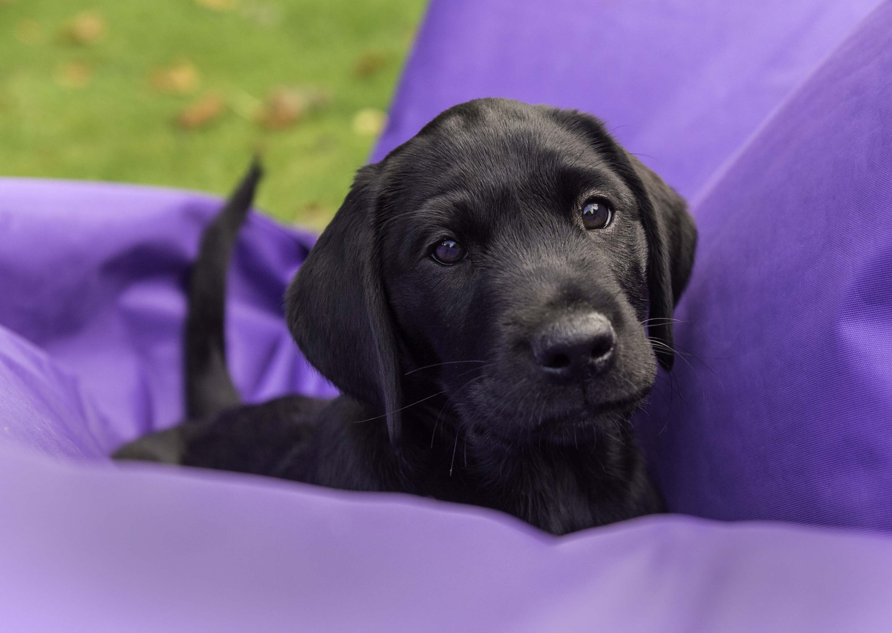 Purple Puppy