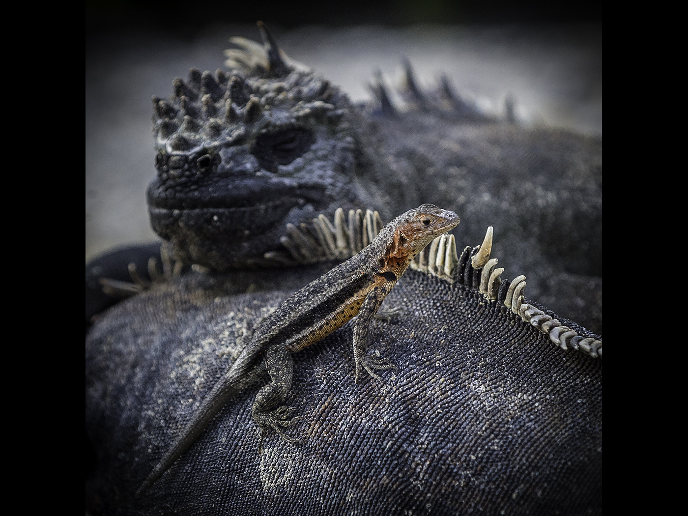 Lava Lizard and Friends