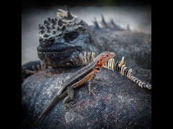 Lava Lizard and Friends