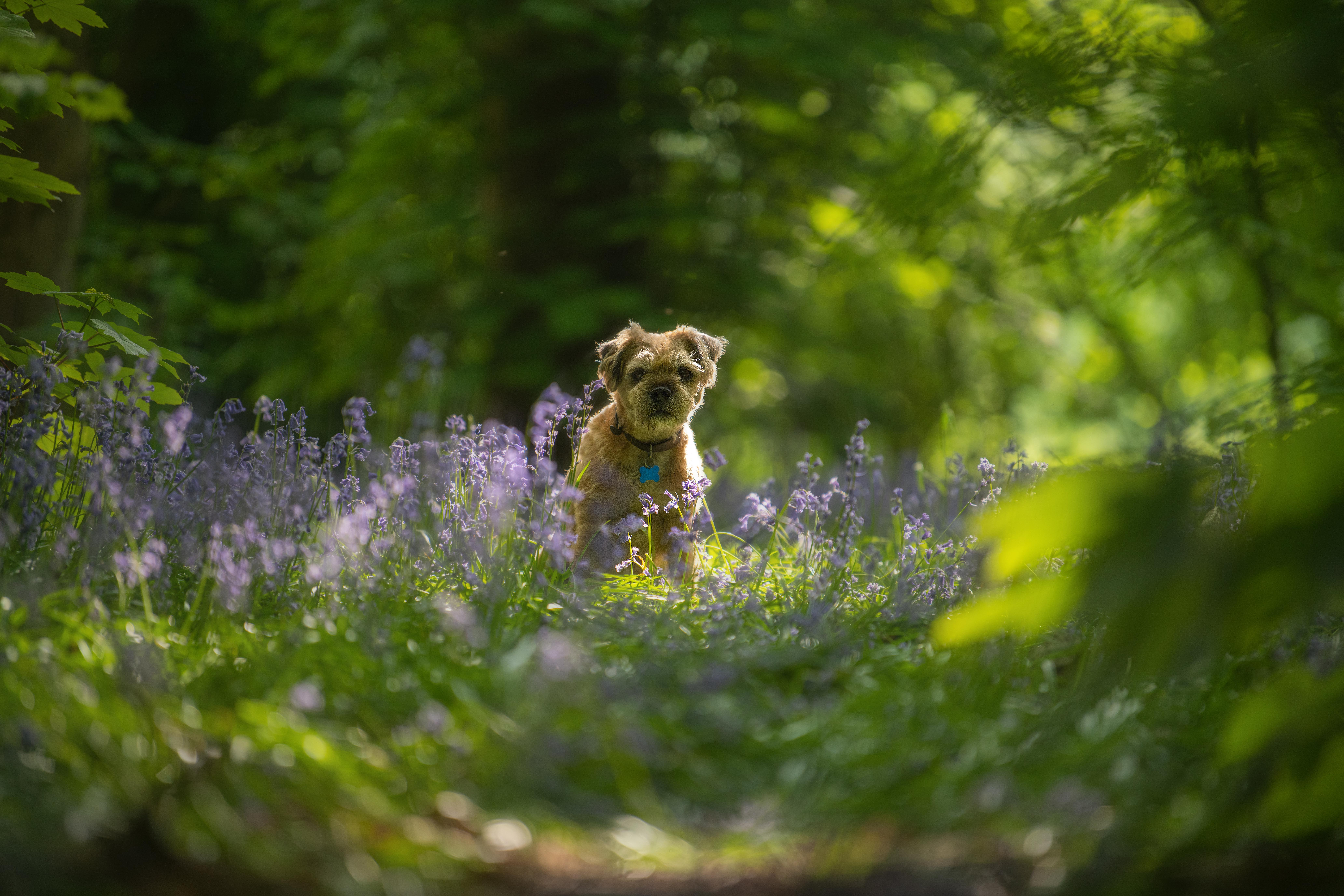 Alf in the Bluebells