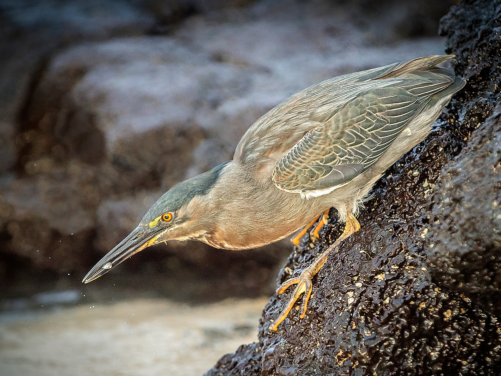 Lava Heron With Catch 21