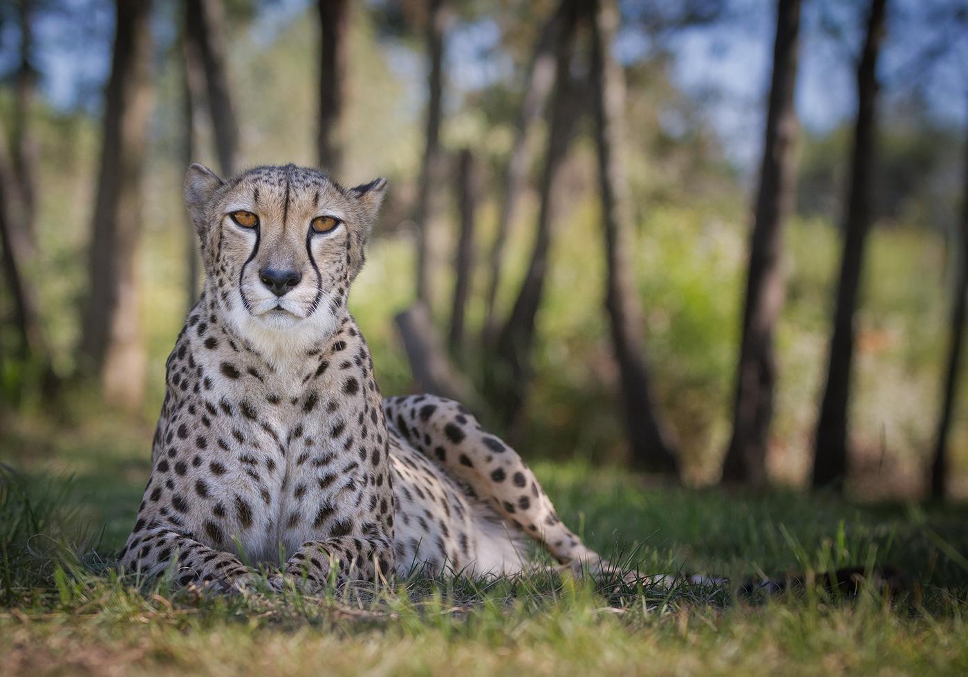 2_Female Cheetah