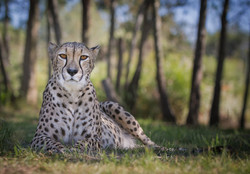 2_Female Cheetah