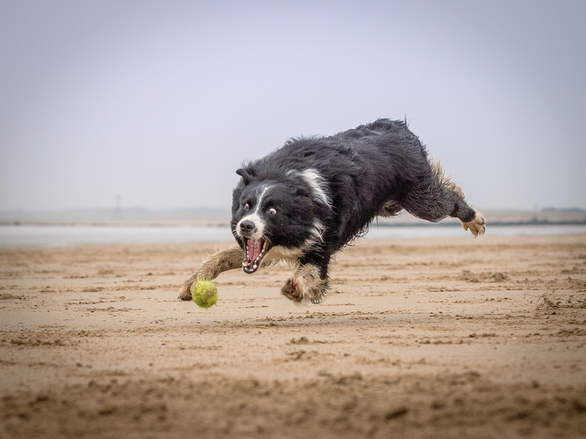 Flying Collie
