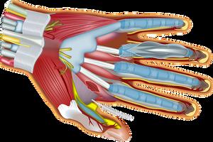 Hand anatomy is complex