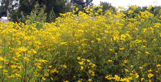 Marsh Marigolds (Tick seed)