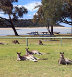 Lake Conjola kangaroos.jpg
