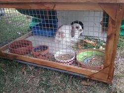"""Rusty"" - Belshaw's Rabbit"