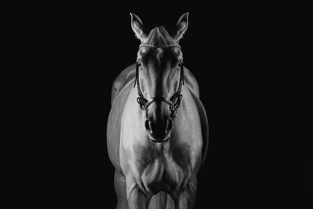 studio lit horse
